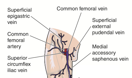 Diagram showing the superficial external pudendal vein which drains labial veins.