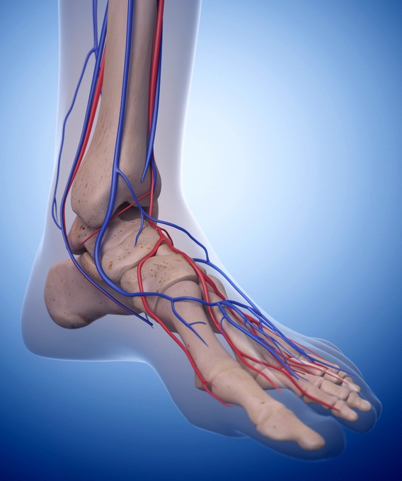 Foot model to demonstrate major veins and arteries for varicose veins feet